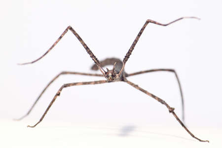 phasmatodea on white background, front view of stick insect
