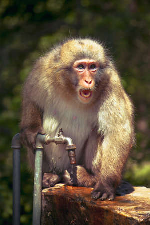 screaming monkey, macaque defends a precious water source in summer Stock Photo