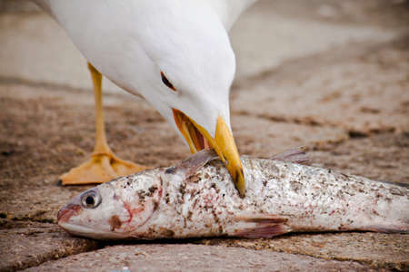 seagull eats a fish, hungry concept 스톡 콘텐츠