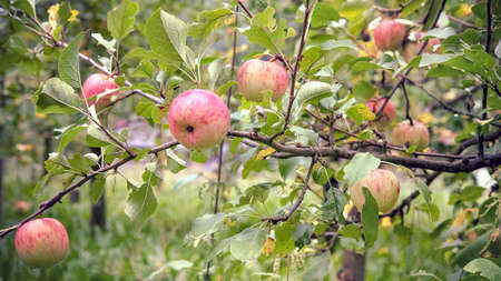 Organic apples on branches. There are water droplets on the fruit