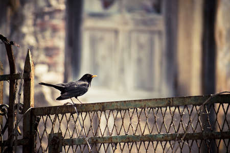 blackbird on a fence, bird standing on a rusty gate in an abandoned place