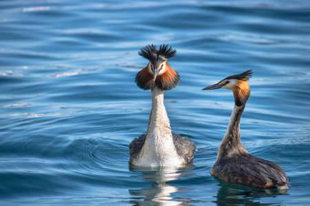 Couple of great crested grebes birds. The animals are on blue water