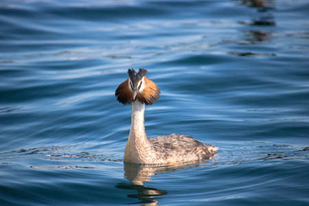 Grebe water bird. Podiceps cristatus on the Garda lake (Italy) Фото со стока