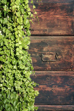 Ivy on a old wooden door. Green leaves covering a mysterious entrance