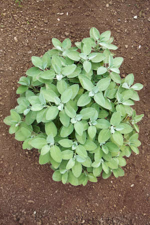 Sage plant in the ground. Sage stand out from the brown soil