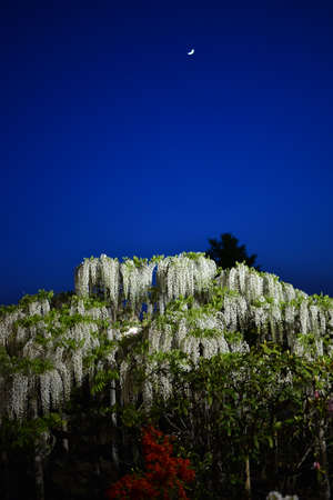 Wistaria in the garden under the moonlight