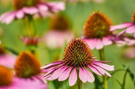 Moody close up shot of echinacea purpurea aka purple coneflowers with colorful blurred background