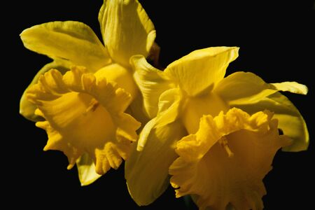 Two daffodil blossoms against black background