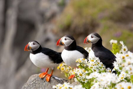 webbed foot: Three Atlantic puffins on rocky, coastal cliffs admid surprising blossoming daisies Stock Photo