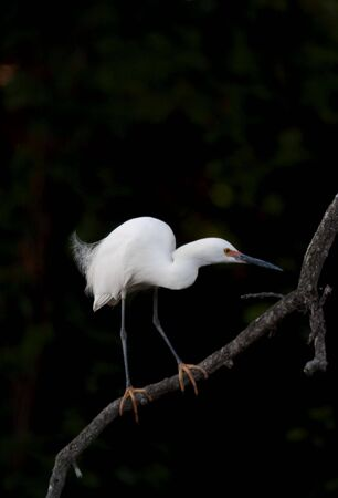 Snowy egret, egretta thula, with distinctive field mark of feet like golden slippers on a branch against dark background photo
