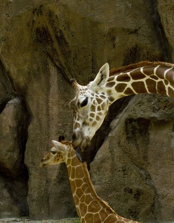 Mother Giraffe gently licks her young baby giraffe against a background of gray and black streaked rocks Stock Photo