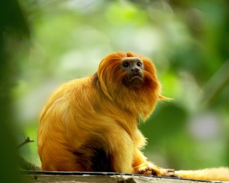 A sunlit Golden Lion Tamarin, Leontophitecus rosalia also known as the Golden Marmot, gazes with watchful interest against a green, out of focus background