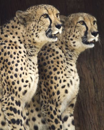 Pair of cheetahs gazes with alert attention