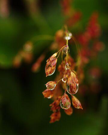 Macro of dew drops on grain, sharp and liquid, against unfocused background