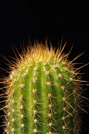 Red Torch Cactus with sharply focused thorns against black background photo