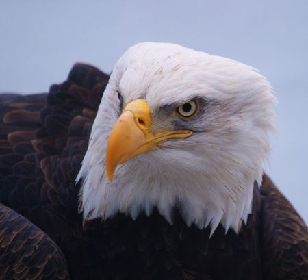 Bald Eagle in a portrait showing fierce glare, sharp beaks, and elegant, white head feathers