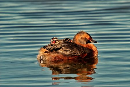 Two grebe chicks, one looking forward and one looking back, nestle on mother grebe's back;  slavonian grebe is only grebe species that breeds in Iceland;  Stock Photo - 7784966