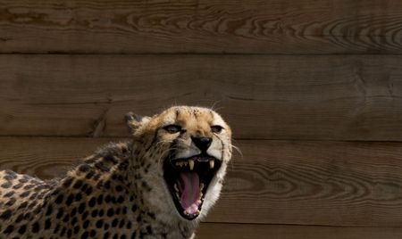 Cheetah, the fastest animal on earth, snarls with fierce, open mouth growl photo