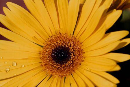 Gerbera, een jaarlijkse bloeiende plant, pronkt haar gouden bloemblaadjes zoals herfst stralen aangeraakt met koele dauw druppels;