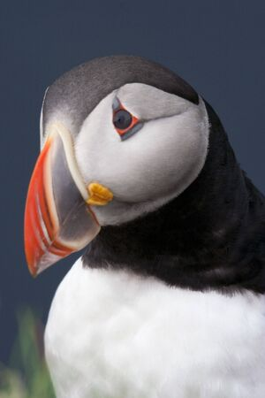 head tilted: Atlantic Puffin portrait, head tilted in question, imaged against a deep blue background Stock Photo