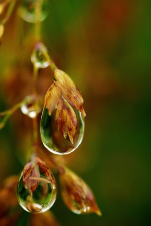 Macro of dew drops holding their own watery worlds.  Dew drops on grain, sharp and liquid, against unfocused background.