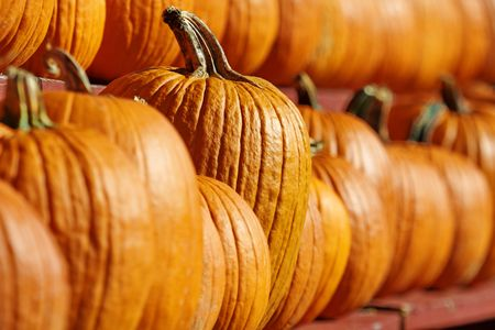 Focus depicts choice as it highlights one, special pumpkin for selection out of a row of many pumpkins
