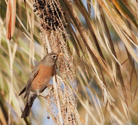 American robin in spring feeds on fan palm berries in the desert oasis of Agua Caliente Regional Park in Tucson, Arizona photo