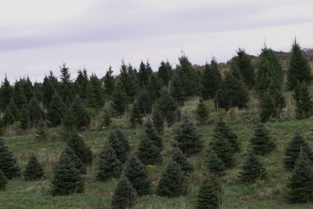 Early winter hillside covered with evergreens in perfect Christmas tree shapes await snow and the holidays