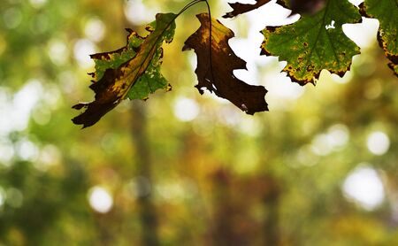 Process of autumn changes, both color and decay, are in sharp, selective focus against a defocused, universal background of light and autumn color.  Changes in autumn leaves, as the aging of human lives, is a process of both decay and beauty. Stock Photo - 8093434
