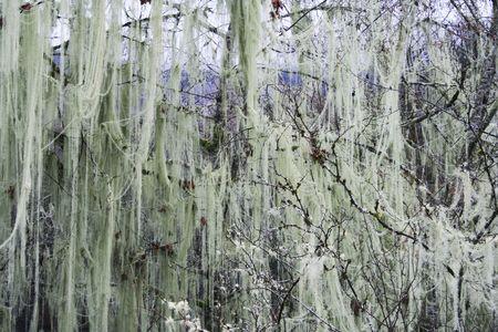 Filmy strands of hanging moss drape Washington States winter trees  photo