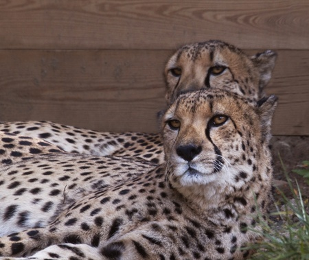 intriguing: As intriguing visual duplicates, two cheetahs simultaneously turn their heads and gaze with interest