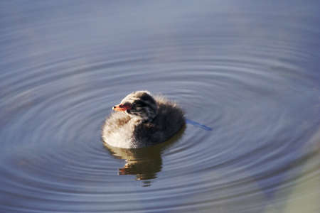 Baby grebe chick paddles in encircling ripples, a sure sign of spring's cyclical renewal Stock Photo - 8526687