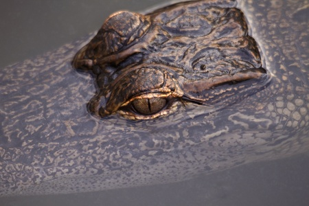 Reptilian alligator eyes break through dark water to form an intriguing break in a subtle pattern background