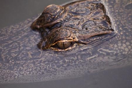 slink: Reptilian alligator eyes break through dark water to form an intriguing break in a subtle pattern background