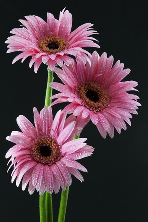 heralds: Fresh water drops on the petals of three pink daisies, tall heralds against a black background Stock Photo