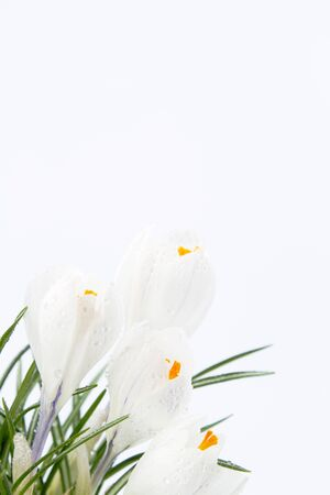 Corner of frame holds white crocus blooms in close up, spring rain drops fresh on their petals