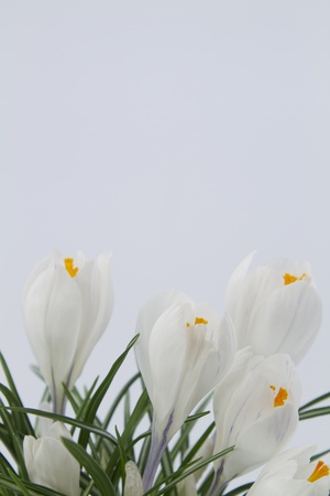 Light blue background, vertical frame with border of white crocus across the bottom; spring colors and metaphor in frame with copy space above.  photo