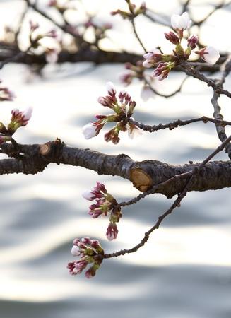Cherry blossom buds against Washington DCs Tidal Basin currents in dawn light