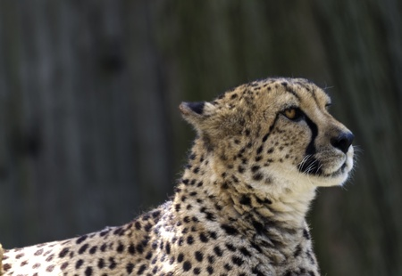 Cheetah sits in regal portrait.  Location is Philadelphia Zoo, Americas first zoo. Shallow depth of field throws background into soft focus.