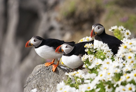 Three, Atlantic Puffins in summer daisies on Icelands rocky Latrabjarg Cliffs, a noted tourist attraction and birding hotspot. photo