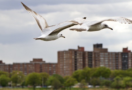 Two seagulls in flight over city in image reflecting both wild freedom of birds and their worldly connection to human environments.  Location is United States, New York City, Queens borough, Flushing Meadows, Corona Park.   photo