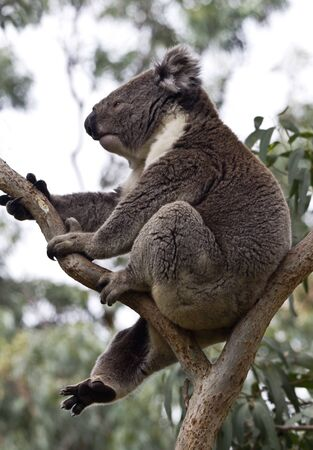 Wild koala with one leg dangling, relaxed and carefree, in eucalyptus tree on Cape Otway, Victoria, Australia; vertical;  photo