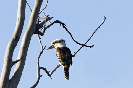 glint: Silvestre, originario de Australia Kookaburra (Dacelo novaeguineae) con un destello de sol en el ojo se posa en rama contra un cielo azul despejado, copia espacio a la derecha de p�jaro.