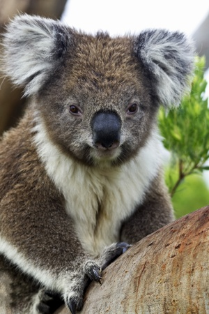 Alert, male koala on Victorias Cape Otway with large claws visible and marked by male chest coloration.