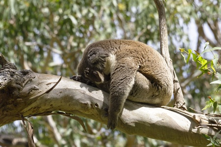 slumped: Wild koala in a state of total sleep, arm limp and slumped forward, on the sunlit branch of a gum tree.   Location is Australias Cape Otway in Victoria.