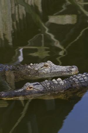 juxtaposing: Two alligators in juxtaposing directions