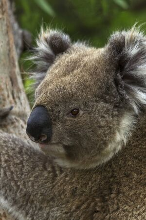 Wild koala turns head as he clings to eucalyptus tree on Cape Otway, Victoria, Australia; vertical shot.furry ears visible; Stock Photo