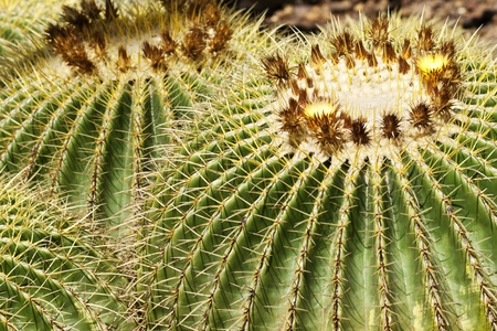Golden Barrel Cactus in close up photo