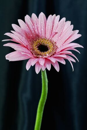 Dew drops on one, single, pink daisy placed against black background; elegant symbol; vertical with copy space; photo
