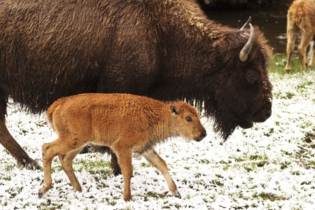 Bison calf trots along side parent in Yellowstone National Park, Wyoming;